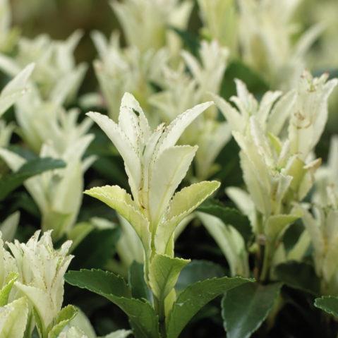 Euonymus japonicus Paloma Blanca